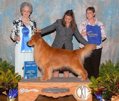 Golden Retriever vencedor de exposição