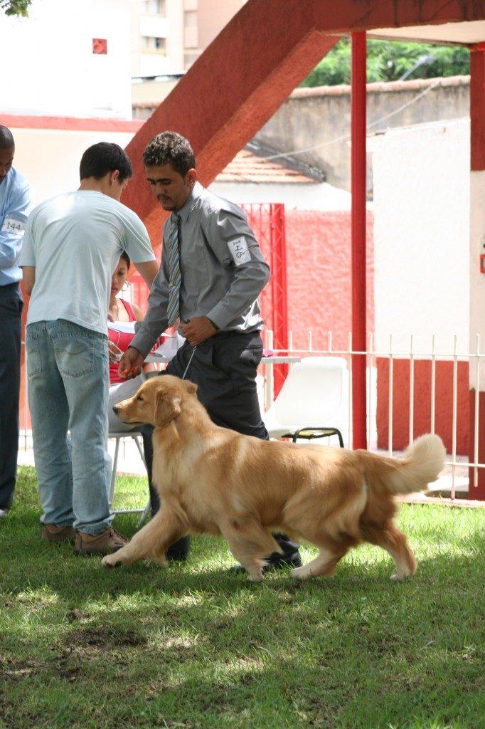 Golden Retriever Bliss sendo apresentada por seu handler