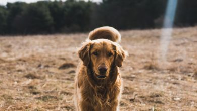 Golden Retriever mais escuro, no campo