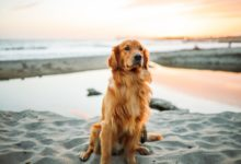 Golden Retriever na praia