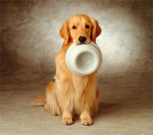 Golden Retriever segurando pote de comida com a boca