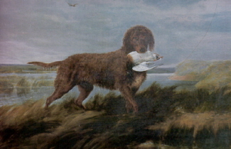 Tweed Water Spaniel com caça na boca